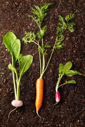 Navet carotte radis